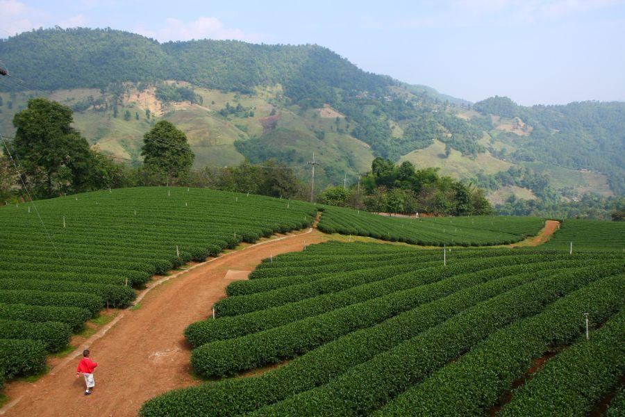 Thailand Noord thee plantage natuur Chiang Mai Chiang Rai omgeving landschap local